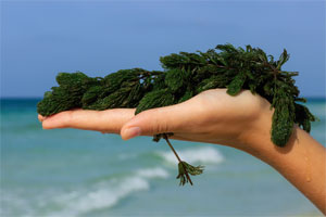 Hand holding seaweed on the beach