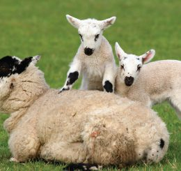 Mother sheep with two lambs