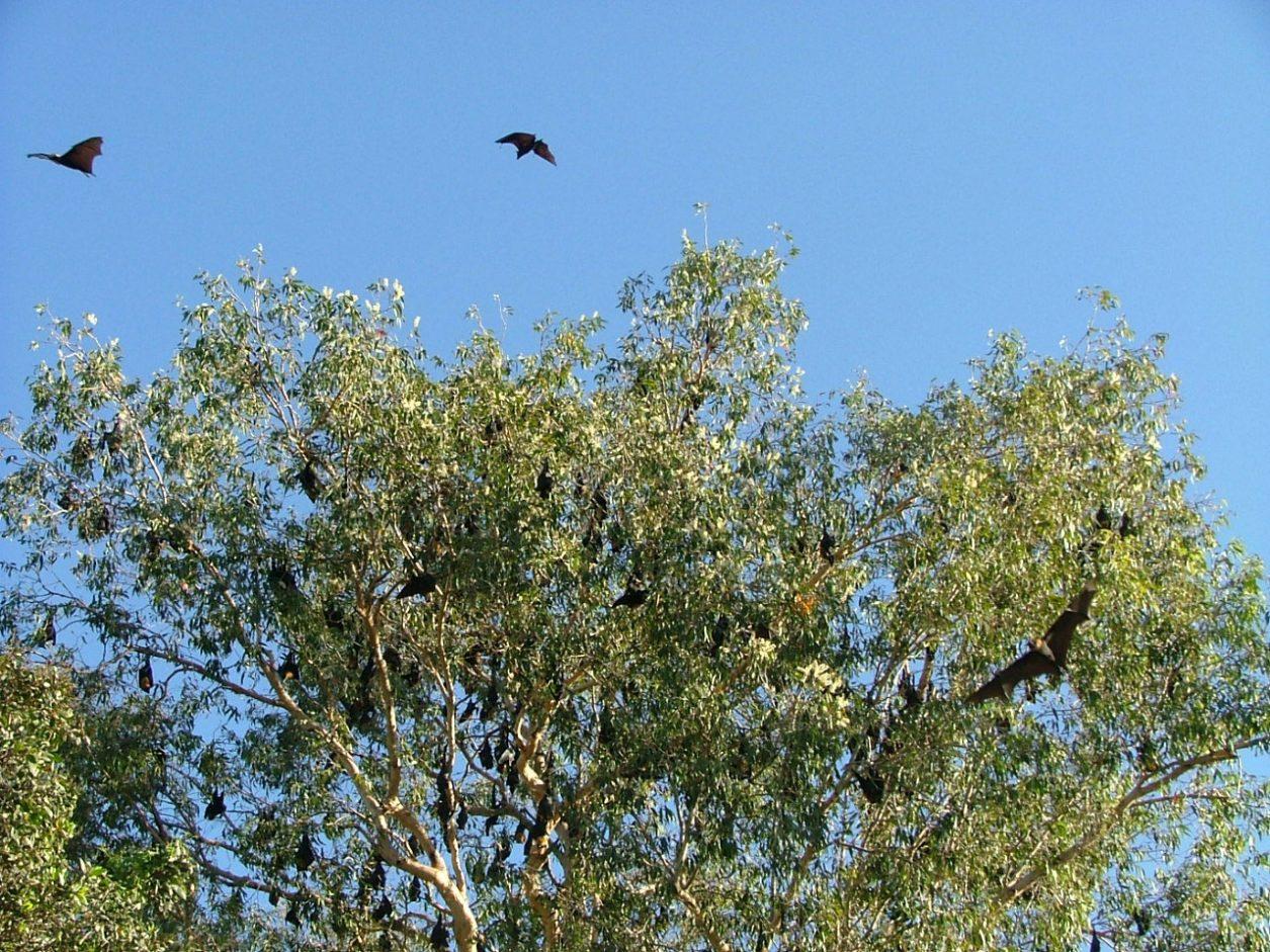 flying bats